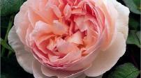 Sân vườn tuyệt đẹp với 5 loại hoa hồng ngoại