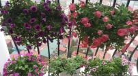 Hoa lá rực rõ trên những ban công nhỏ