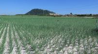 Đất nông nghiệp ở Lý Sơn, Quảng Ngãi sốt hầm hập