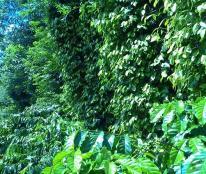 Bán rẩy cà phê Quảng Tiến, CưMgar 9300m2 giá 700 triệu