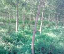 Bán đất trồng rừng keo lai Lâm Đồng giá rẻ 138ha 5,2 tỷ