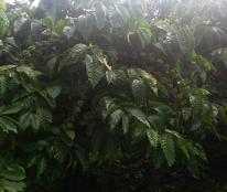 Bán trang trại vườn cafe có sầu riêng đang cho thu hoạch mạnh