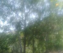 Bán đất trồng keo, điều Cam Thành Nam 20 nghìn m2. T.P Cam Ranh, Khánh Hòa. Giá rẻ. 0911762186